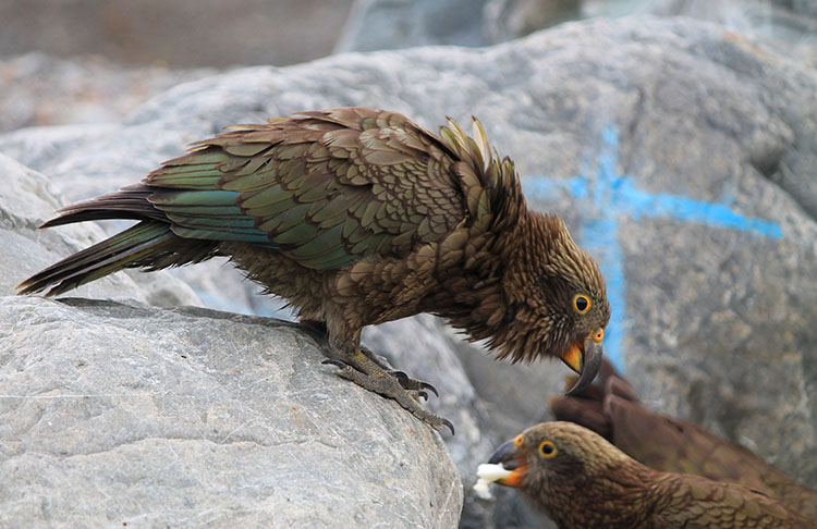 Kea near the start of the Kea Point Track, Mount Cook National Park, New Zealand