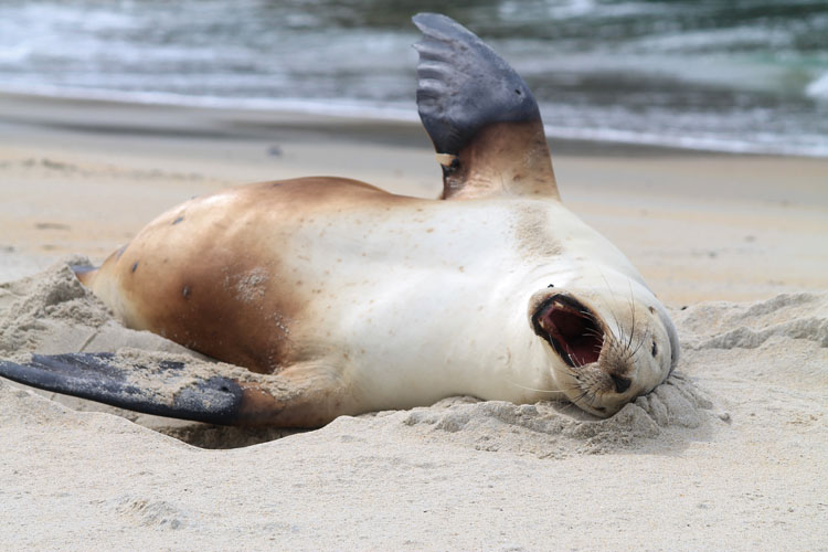 A sea lion on St Kilda Beach, Dunedin, New Zealand