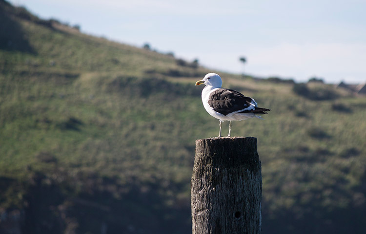 An albatross on Aramoana Beach, Dunedin, New Zealand