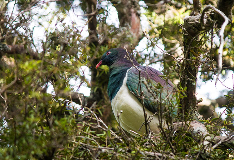 A wood pigeon on the hike to Mount Cargill, Dunedin, New Zealand