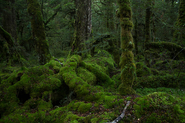 Forest at Lake Gunn Nature Reserve, Milford Road, New Zealand