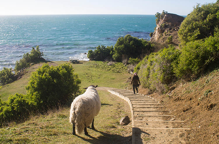 The best things to do in Moeraki, New Zealand -- walking with a sheep