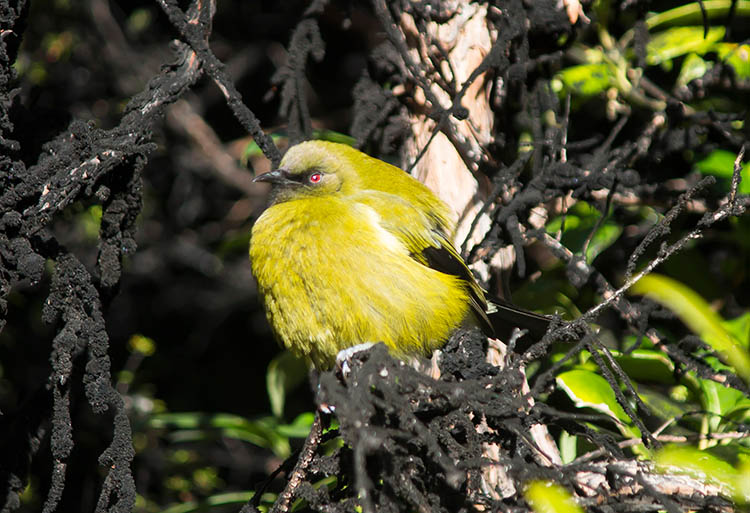 A colouful bird on the Bob's Cove Track, Queenstown, New Zealand