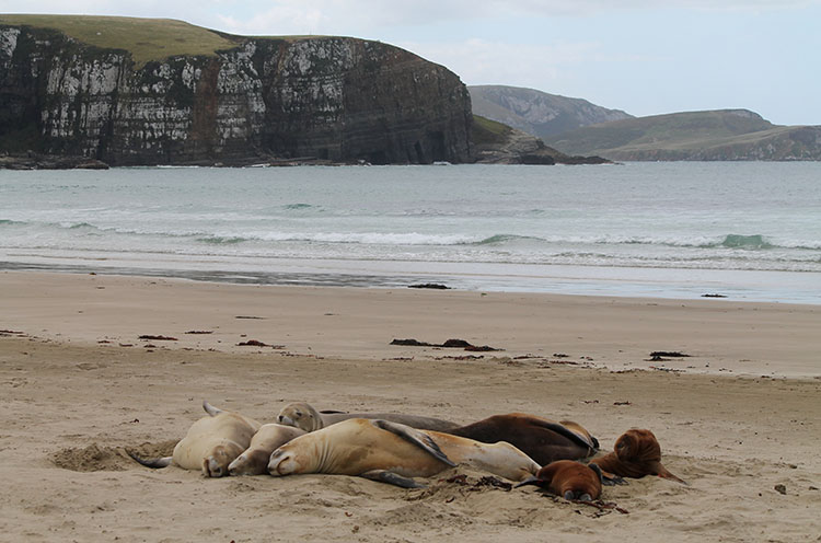 Sea lions at Jack's Bay, the Catlins, New Zealand