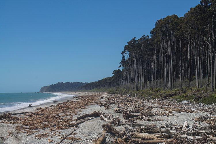 Tall trees by Bruce Bay, West Coast, New Zealand
