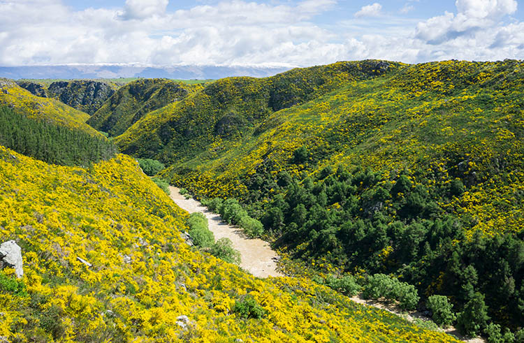 Taieri Gorge Railway -- lots of gorse!