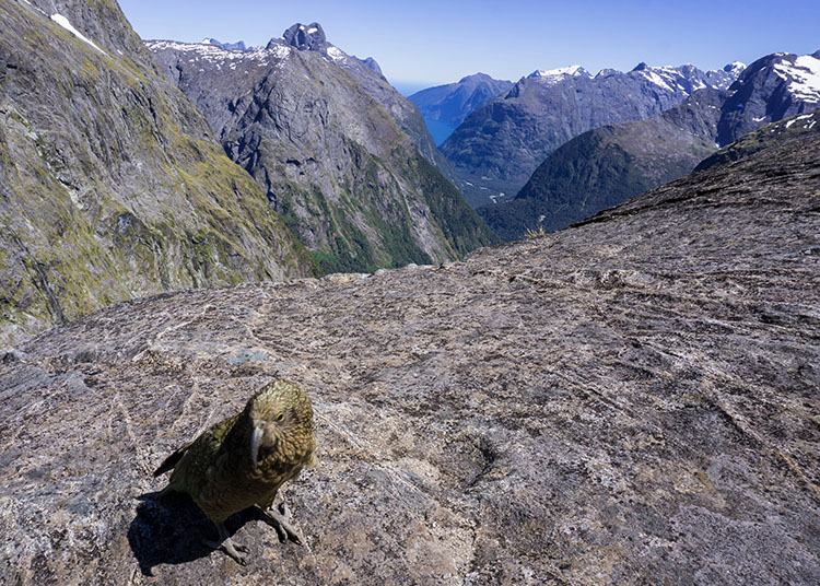A kea at Gertrude Saddle, New Zealand