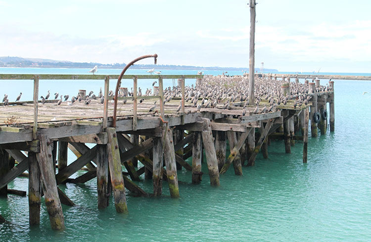 A pier full of birds, Oamaru, New Zealand