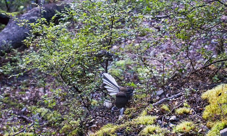 A fantail on the hike to Whiskey Falls, Nelson Lakes National Park, New Zealand