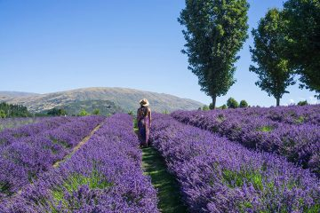 Wanaka Lavender Farm, New Zealand