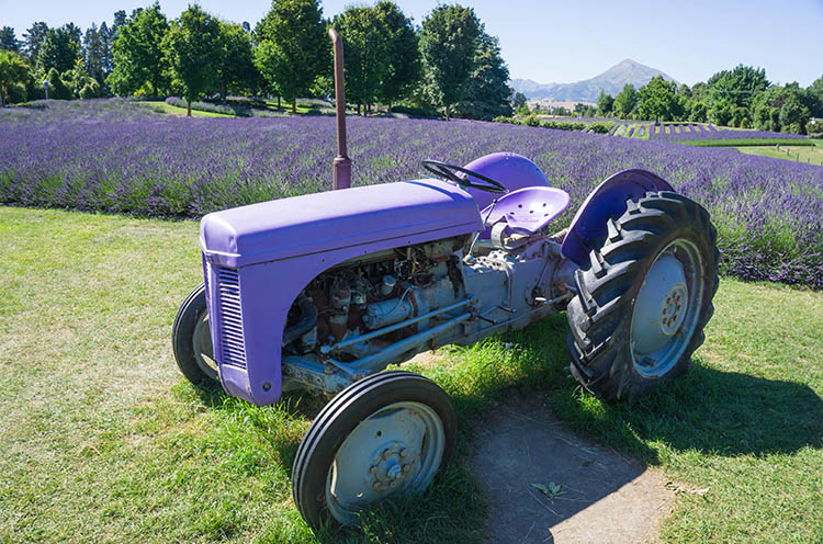 A tractor surrounded by lavender in Wanaka, New Zealand