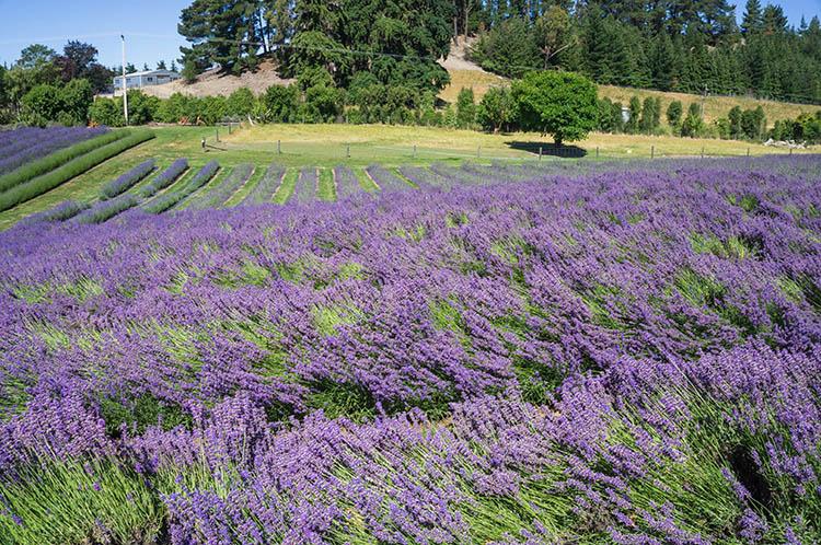 Wanaka Lavender Farm, a cool spot in Wanaka, New Zealand