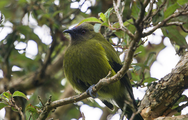 A New Zealand bellbird, Orokonui, Dunedin