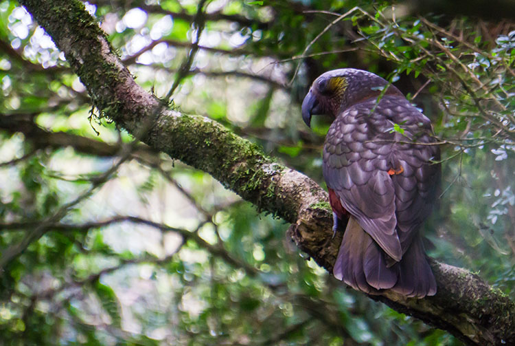 A kaka at Orokonui, Dunedin, New Zealand