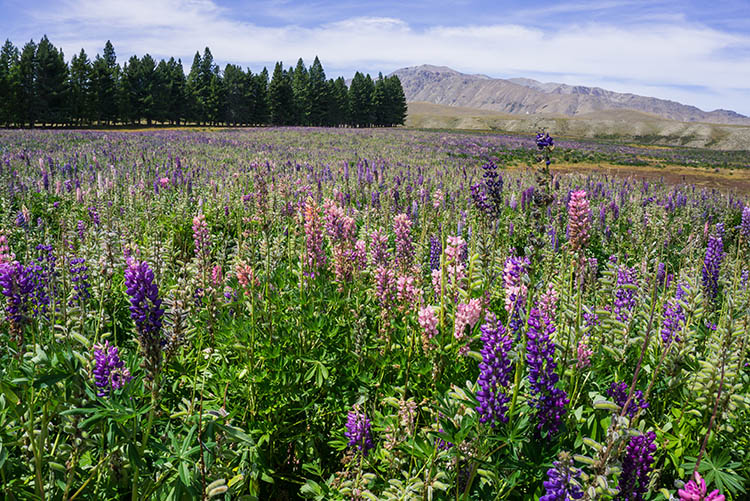 A field of lupins near Lake Tekapo, New Zealand