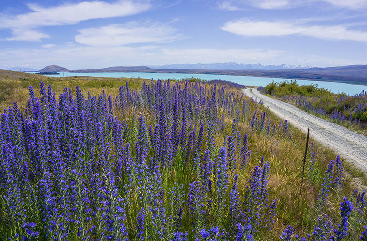 Purple flowers near Lake Tekapo, New Zealand