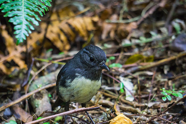 A tiny bird at Orokonui Ecosanctuary, Dunedin, New Zealand
