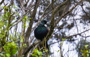 Bird watching at Orokonui Ecosanctuary, Dunedin, New Zealand