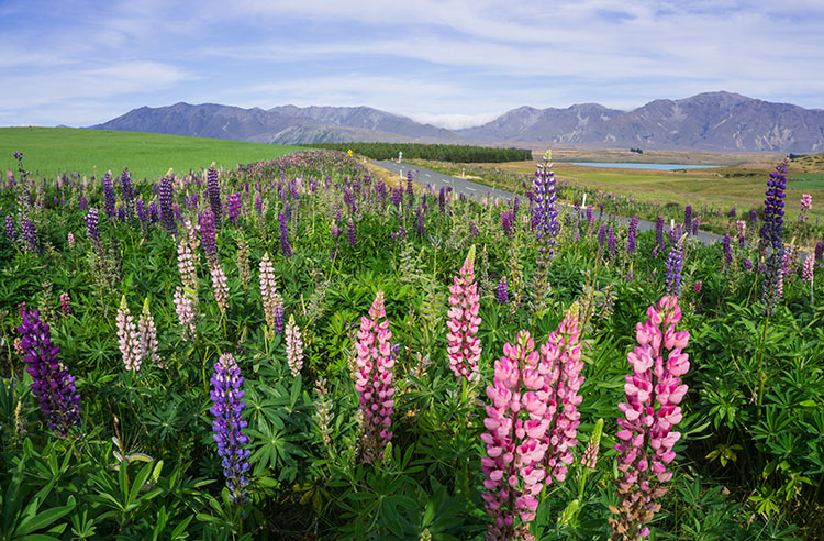 Lupins in Lake Tekapo, New Zealand
