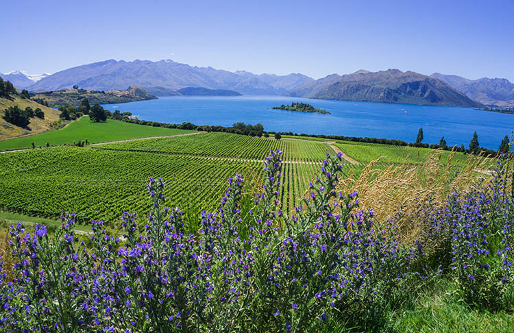 Lavender above Lake Wanaka, New Zealand