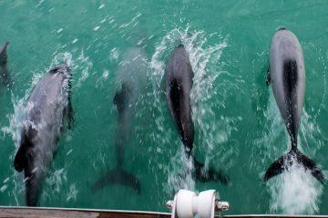Akaroa Dolphins cruise, Banks Peninsula, New Zealand
