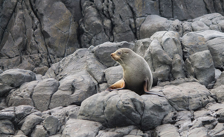 A seal in Banks Peninsula, New Zealand